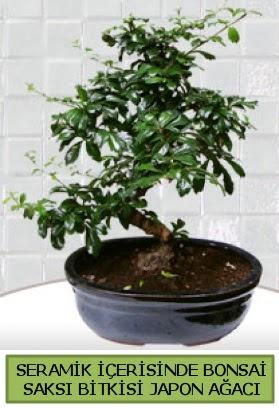 Seramik vazoda bonsai japon ağacı bitkisi  Çorum çiçekçiler