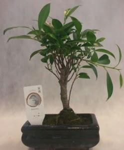 Bonsai japon ağacı bitkisi satışı  Çorum çiçek gönderme
