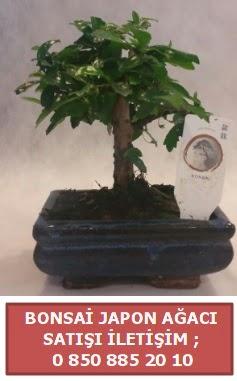 Japon ağacı minyaür bonsai satışı  Çorum ucuz çiçek gönder