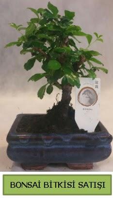 Bonsai ithal görsel minyatür japon ağacı  Çorum çiçekçi mağazası