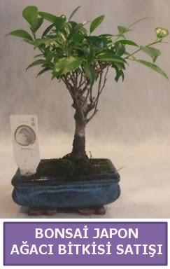 İthal Bonsai japon ağacı bitkisi satışı  Çorum çiçek yolla