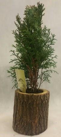 SINIRLI STOK Selvi Bonsai Doğal kütükte  Çorum çiçek yolla