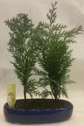 SINIRLI SAYIDA Selvi Ağacı bonsai ikili  Çorum çiçek , çiçekçi , çiçekçilik
