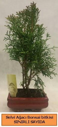 Selvi ağacı bonsai japon ağacı bitkisi  Çorum ucuz çiçek gönder
