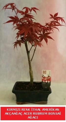 İTHAL ACER RUBRUM BONSAİ AĞACI  Çorum çiçek gönderme
