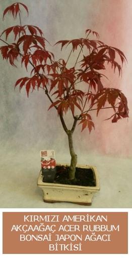 Amerikan akçaağaç Acer Rubrum bonsai  Çorum anneler günü çiçek yolla