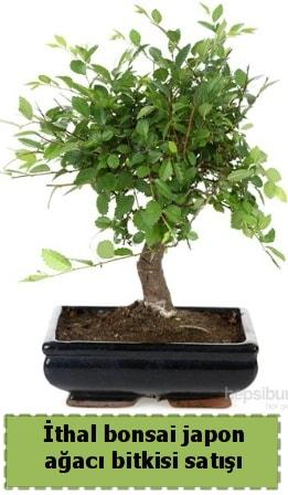 İthal bonsai saksı çiçeği Japon ağacı satışı  Çorum çiçek yolla