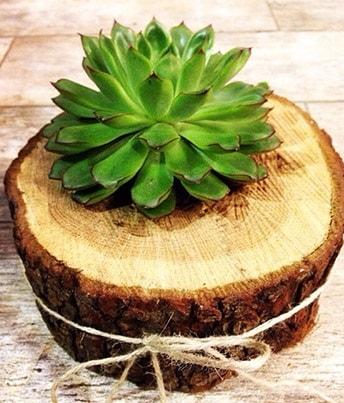 Doğal kütük içerisinde sukulent kaktüs  Çorum ucuz çiçek gönder