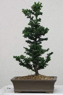 Çam ağacı bonsai bitkisi satışı  Çorum çiçek , çiçekçi , çiçekçilik