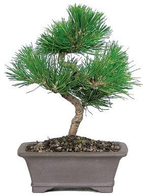 Çam ağacı bonsai japon ağacı bitkisi  Çorum çiçek satışı
