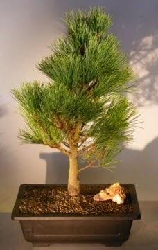 Çam ağacı japon ağacı bitkisi bonsai  Çorum çiçek , çiçekçi , çiçekçilik