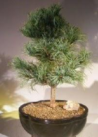 Çam ağacı bonsai bitkisi satışı  Çorum çiçekçi mağazası