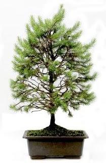 *** STOKTA YOK - Çam ağacı bonsai bitkisi satışı  Çorum 14 şubat sevgililer günü çiçek