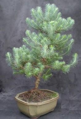 Bonsai çam ağacı japon ağacı bitkisi  Çorum çiçek gönderme