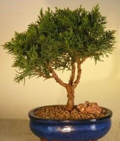 Servi çam bonsai japon ağacı bitkisi  Çorum çiçekçi telefonları