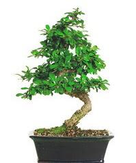 Bonsai bitkisi satışı  Çorum çiçek , çiçekçi , çiçekçilik