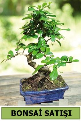 Çam bonsai japon ağacı satışı  Çorum ucuz çiçek gönder
