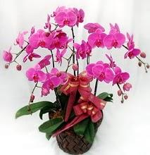 Sepet içerisinde 5 dallı lila orkide  Çorum çiçekçi mağazası