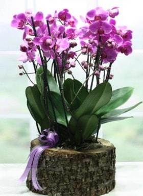 Kütük içerisinde 6 dallı mor orkide  Çorum çiçekçi mağazası