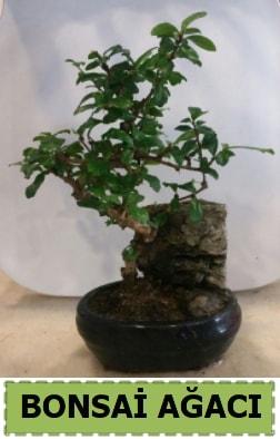 Bonsai ağacı japon ağacı satışı  Çorum çiçek siparişi sitesi