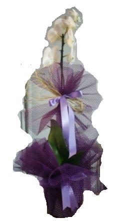 Tek dallı beyaz orkide süper kalite ithal  Çorum çiçekçiler