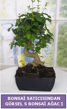 S dal eğriliği bonsai japon ağacı  Çorum ucuz çiçek gönder