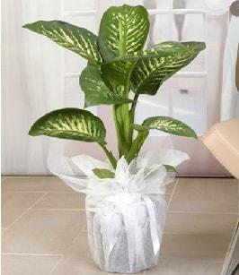 Tropik saksı çiçeği bitkisi  Çorum ucuz çiçek gönder