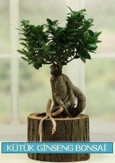 Kütük ağaç içerisinde ginseng bonsai  Çorum çiçek gönderme