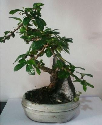 S şeklinde ithal bonsai ağacı  Çorum çiçekçi telefonları