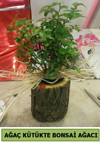 Doğal ağaç kütük içerisinde bonsai ağacı  Çorum çiçek gönderme