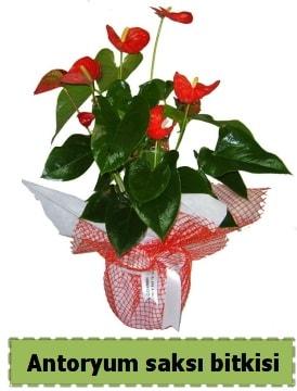 Antoryum saksı bitkisi satışı  Çorum hediye çiçek yolla