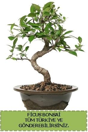 Ficus bonsai  Çorum çiçek gönderme