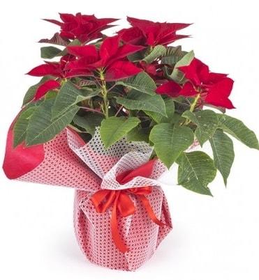Atatürk çiçeği saksı bitkisi  Çorum çiçek gönderme