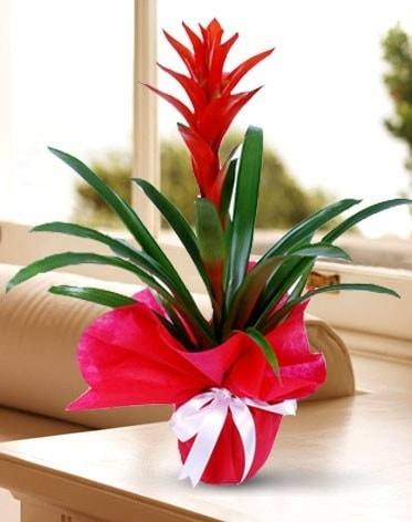 Guzmanya Saksı Çiçeği  Çorum çiçekçi telefonları