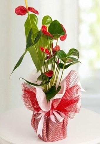 Anthurium Saksı Çiçeği  Çorum çiçek siparişi sitesi