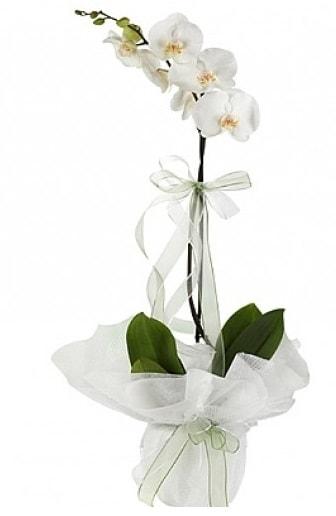 Tekli Beyaz Orkide  Çorum çiçek siparişi sitesi