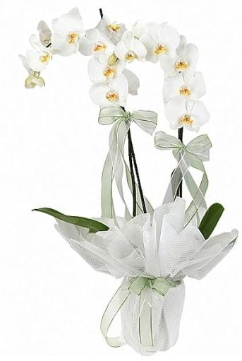 Çift Dallı Beyaz Orkide  Çorum çiçek online çiçek siparişi