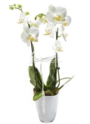 2 dallı beyaz seramik beyaz orkide saksısı  Çorum çiçek gönderme