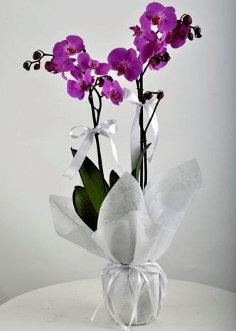Çift dallı saksıda mor orkide çiçeği  Çorum cicek , cicekci