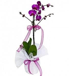 Tek dallı saksıda ithal mor orkide çiçeği  Çorum çiçek siparişi vermek