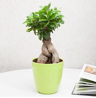 Ficus Ginseng Bonsai  Çorum hediye sevgilime hediye çiçek