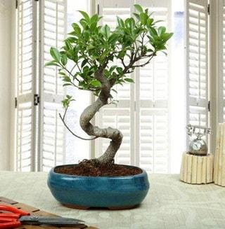 Amazing Bonsai Ficus S İthal  Çorum online çiçek gönderme sipariş