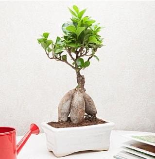 Exotic Ficus Bonsai ginseng  Çorum kaliteli taze ve ucuz çiçekler