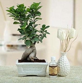 Ginseng ficus bonsai  Çorum çiçek siparişi vermek