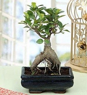 Appealing Ficus Ginseng Bonsai  Çorum çiçek online çiçek siparişi