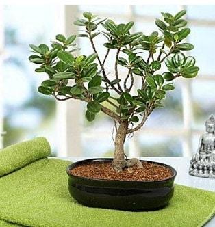 Lovely Ficus Iceland Bonsai  Çorum çiçek online çiçek siparişi