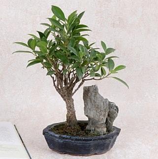 Japon ağacı Evergreen Ficus Bonsai  Çorum çiçek gönderme