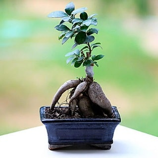 Marvellous Ficus Microcarpa ginseng bonsai  Çorum cicek , cicekci
