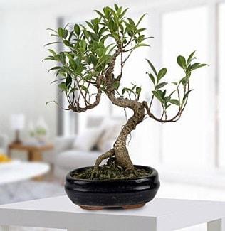 Gorgeous Ficus S shaped japon bonsai  Çorum çiçek yolla , çiçek gönder , çiçekçi