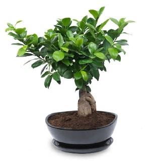 Ginseng bonsai ağacı özel ithal ürün  Çorum internetten çiçek siparişi